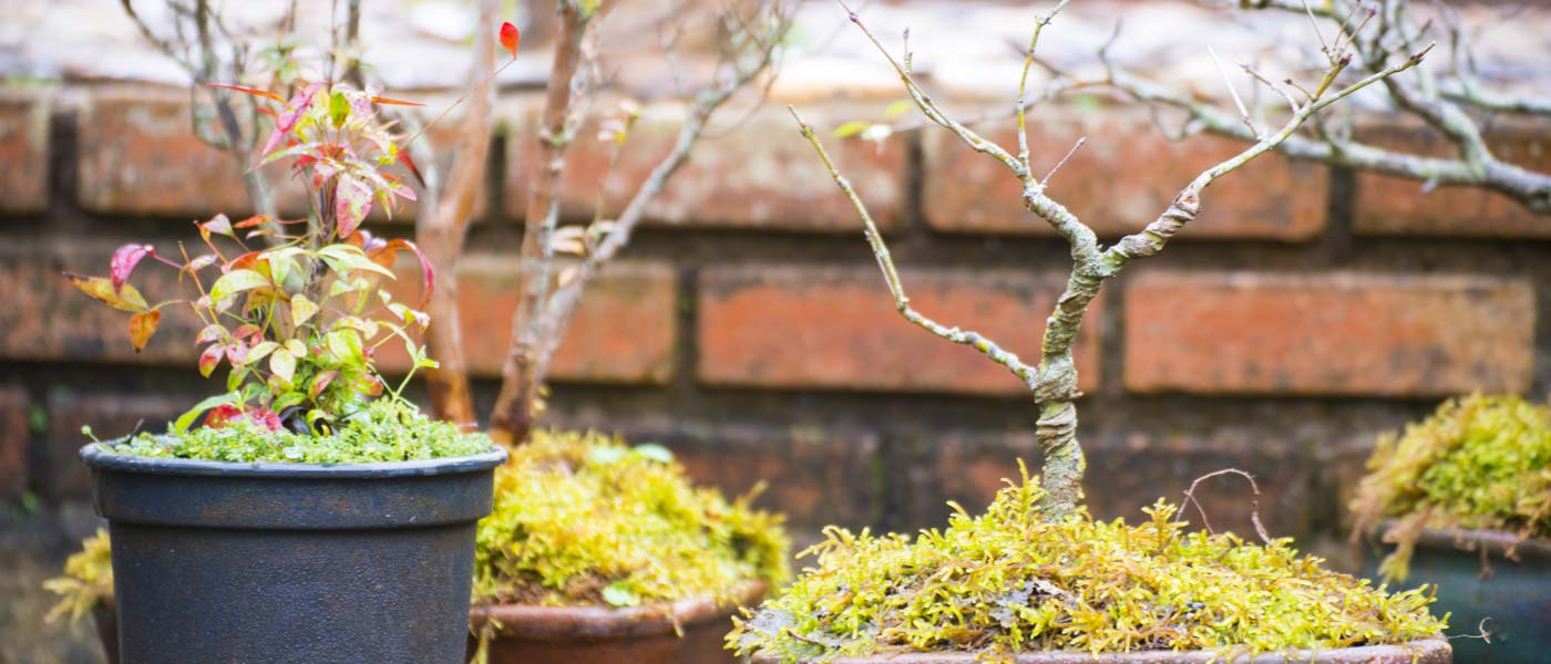 Wolf Trap Nursery - Bonsai Trees